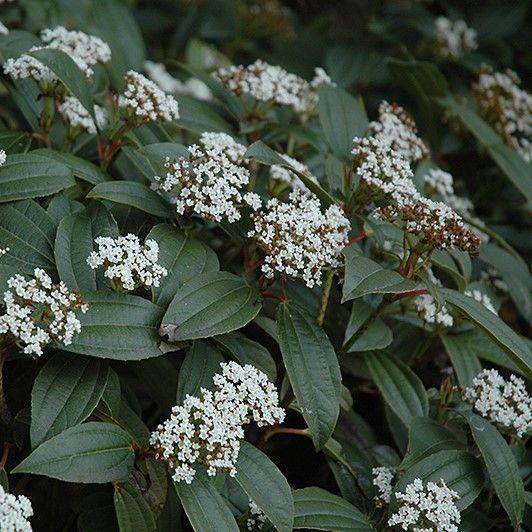 """115. Vaste plant """"Viburnum"""""""